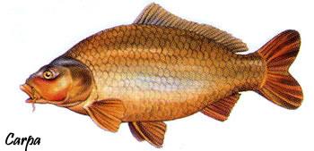 Un grosso pesce del mediterraneo ricette casalinghe popolari for Immagini di pesci disegnati